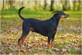 image of German Pinscher