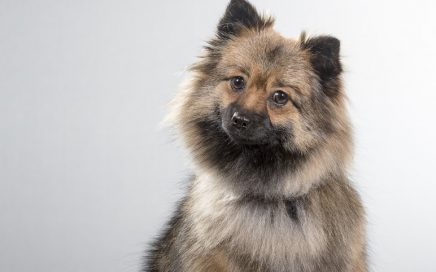 image of German Spitz (Klein)