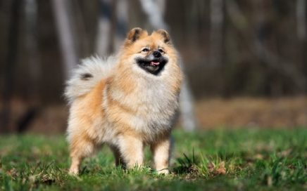 image of German Spitz (Mittel)