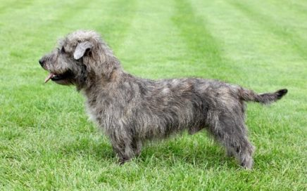 image of Glen Of Imaal Terrier