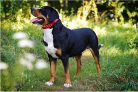 image of Great Swiss Mountain Dog