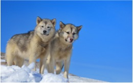 image of Greenland Dog