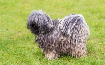 image of Hungarian Puli