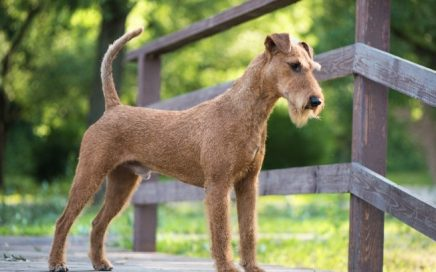 image of Irish Terrier