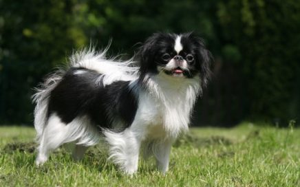 image of Japanese Chin