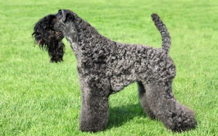 image of Kerry Blue Terrier