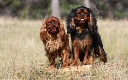 image of King Charles Spaniel