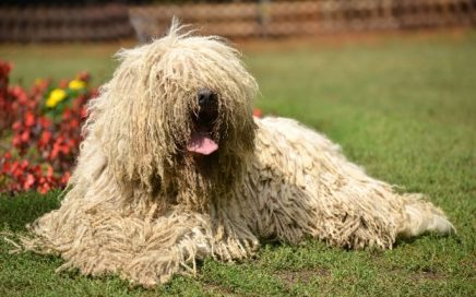 image of Komondor