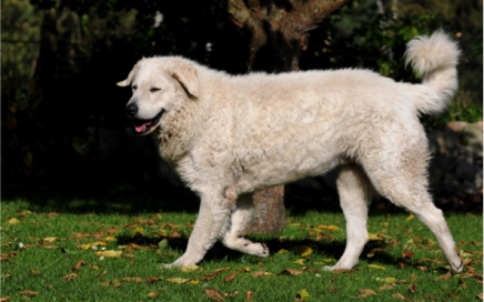 image of Hungarian Kuvasz