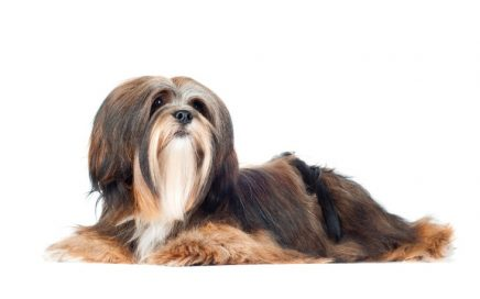 image of Lhasa Apso