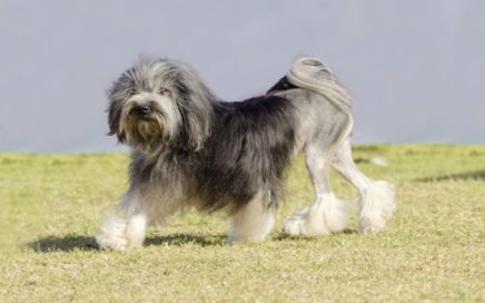image of Lowchen (Little Lion Dog)