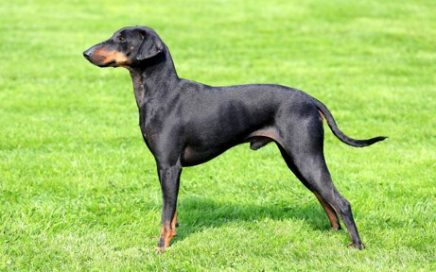 image of Manchester Terrier