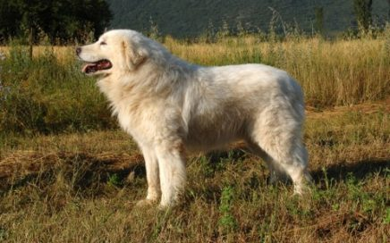 image of Maremma Sheepdog