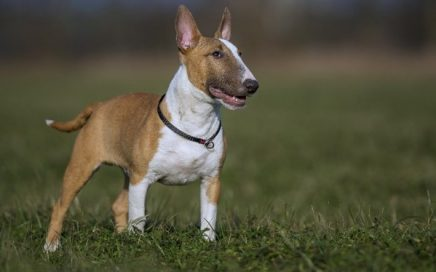 image of Miniature Bull Terrier