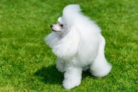 image of Poodle (Miniature)