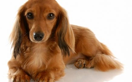 image of Dachshund (Miniature Long-Haired)