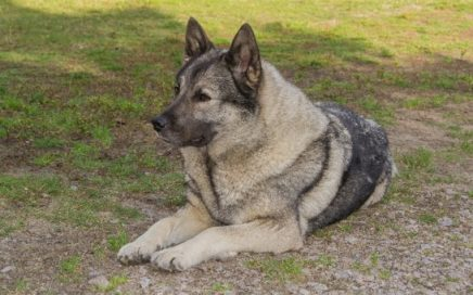 image of Norwegian Elkhound