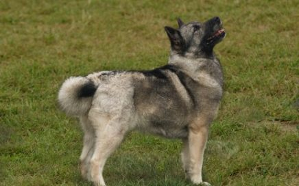 image of Norwegian Buhund