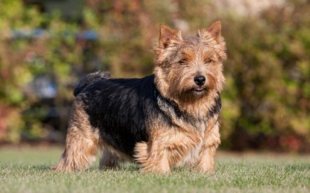 image of Norwich Terrier