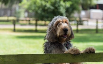 image of Otterhound