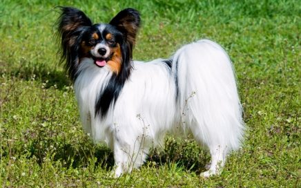 image of Papillon