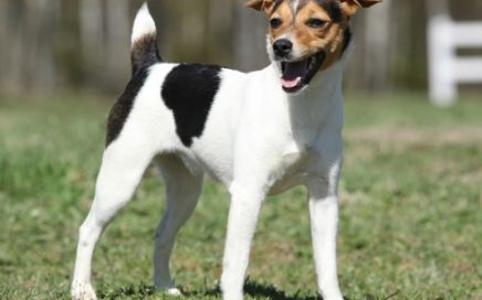 image of Parson Russell Terrier