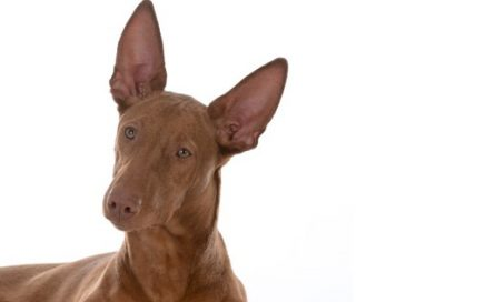 image of Pharaoh Hound