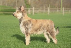 image of Picardy Sheepdog