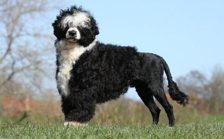 image of Portuguese Water Dog