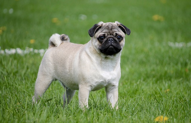 Pug standing in the grass