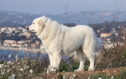 image of Pyrenean Mountain Dog