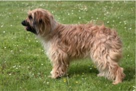 image of Pyrenean Sheepdog (Long Haired)