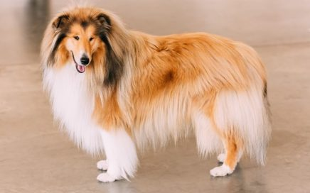 image of Rough Collie