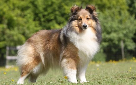 image of Shetland Sheepdog