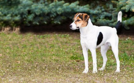 image of Fox Terrier (Smooth)