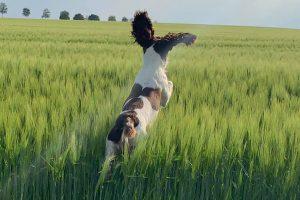 english springer spaniel jumping through a field
