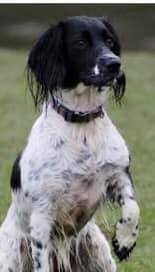 black and white springer spaniel sitting outside