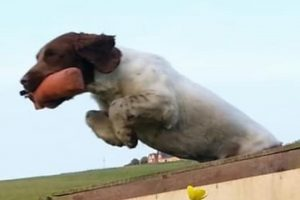 english springer spaniel retrieving and jumping over a wall
