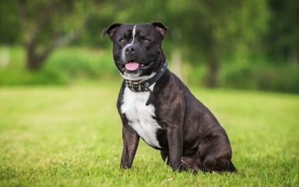 image of Staffordshire Bull Terrier