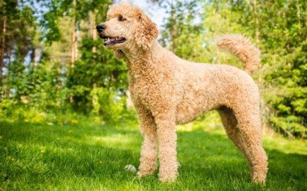 image of Poodle (Standard)