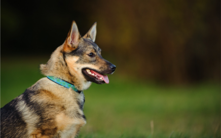 image of Swedish Vallhund