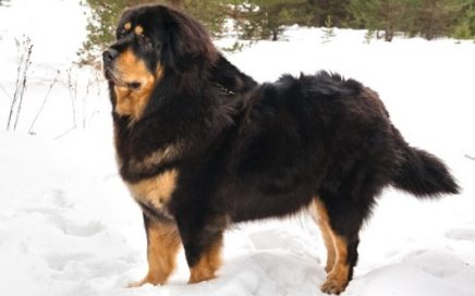 image of Tibetan Mastiff