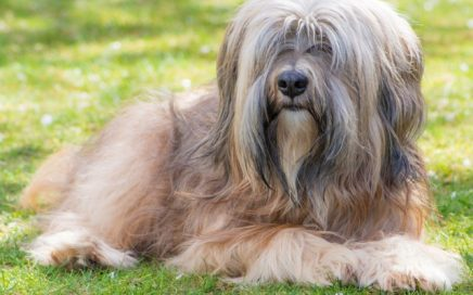 image of Tibetan Terrier