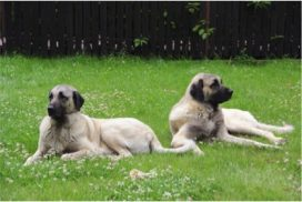 image of Turkish Kangal Dog