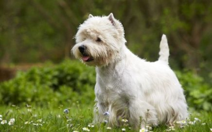 image of West Highland White Terrier