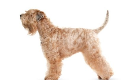 image of Soft-Coated Wheaten Terrier