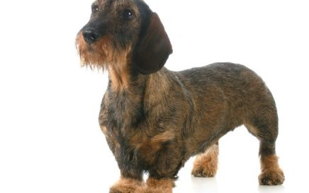 image of Dachshund (Wire-Haired)