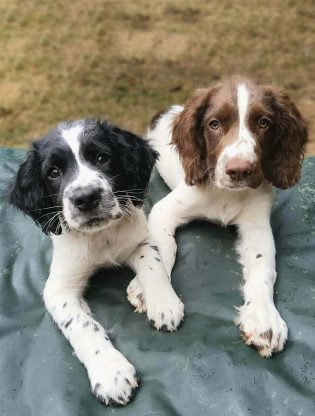 working type english springer spaniel puppies