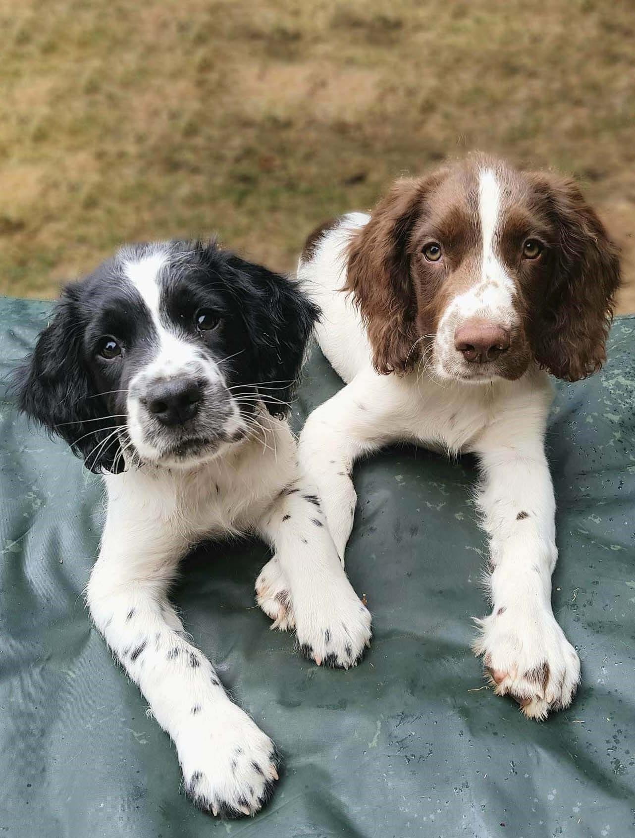 working type english springer spaniel puppies