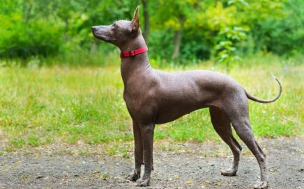 image of Xoloitzcuintle (Mexican Hairless) (Standard)